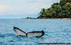 Ballena Jorobada en Isla del caño Bahía Drake, Costa Rica.