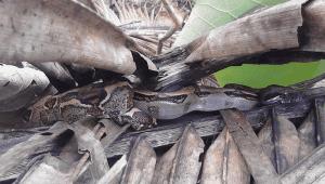 Corcovado National Park, Boa constrictor, Drake Bay Costa Rica
