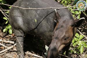 Tapir en Corcovado National Park, Drake Bay, Costa Rica