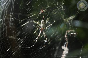 Araña hilo de oro, Corcovado National Park, San Pedrillo Station