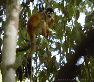Mono ardilla, Parque Nacional Corcovado, San Pedrillo Station