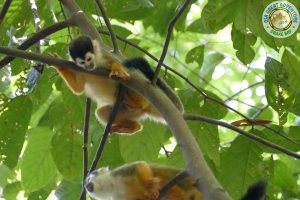 squirrel monkey in Corcovado national Park, Sirena Station