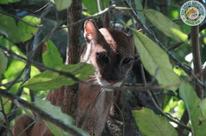 Puma en Corcovado National park, Drake Bay, Costa Rica