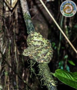 Bocaracá durante una caminata nocturna, Drake Bay, Costa Rica.