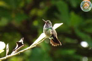 Kolibri, Corcovado Tour Costa Rica