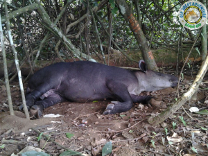 Tapir in Sirena Station during Overnight trip, Costa Rica.